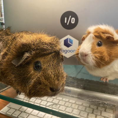 2 guinea pigs sitting in front of a macbook