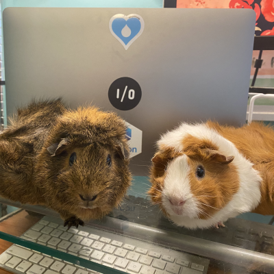 two guinea pigs in front of a laptop